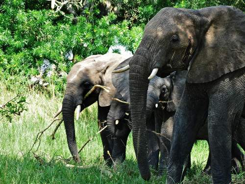LATEST ANIMALS AND NATIONAL PARKS OF ETHIOPIA LIST [2020 pdf]: the largest elephant herd is in Babile Elephant Sanctuary