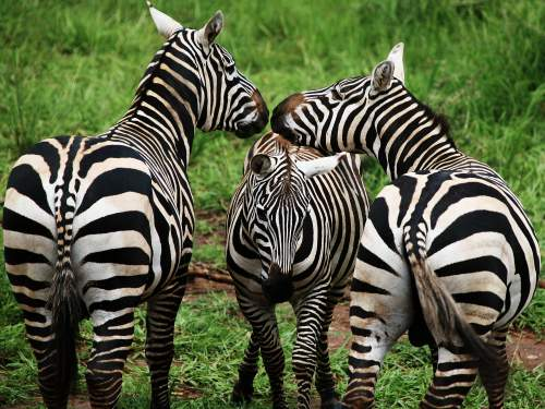 LATEST ANIMALS AND NATIONAL PARKS OF ETHIOPIA LIST [2020 pdf]: Several protected areas in the Central Rift valley have decent populations of the Plains' or Burchell's Zebras.