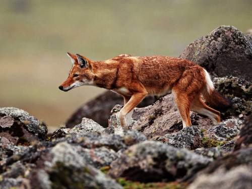 LATEST ANIMALS AND NATIONAL PARKS OF ETHIOPIA LIST [2020 pdf]: The Ethiopian Wolf is the flagship species for conservation in Ethiopia