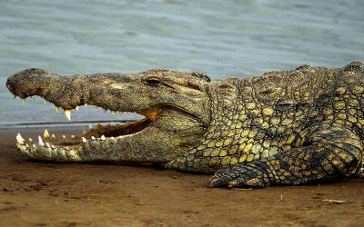 The Nile Crocodille is widespread throughout Gambela National Park.