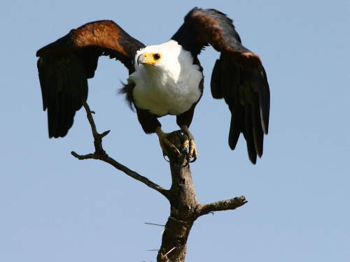 LIST & MAP NATIONAL PARKS UGANDA PDF: African Fish Eagle Kazinga Channel.
