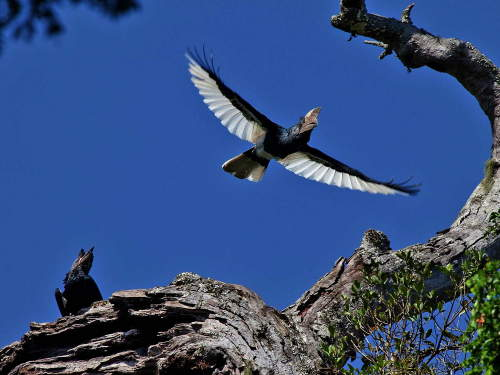LIST & MAP NATIONAL PARKS UGANDA PDF: Black and White Casqued Hornbill Flying.