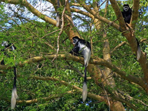LIST & MAP NATIONAL PARKS UGANDA PDF: Black and White Colobus Monkey is one of 13 primates of the park.
