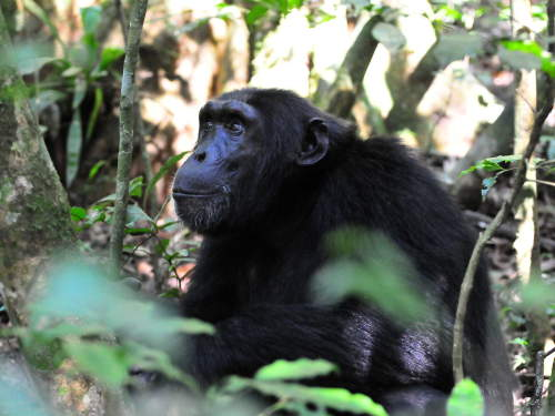 LIST & MAP NATIONAL PARKS UGANDA PDF: Chimp investigating visitors.