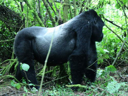 LIST & MAP NATIONAL PARKS UGANDA PDF: BWINDI IMPENETRABLE NATIONAL PARK: Mountain Gorilla silverback male.