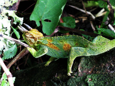 HOW TO GET TO BWINDI IMPENETRABLE FOREST NATIONAL PARK: Three-horned Chameleon.