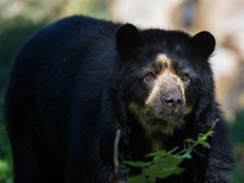 MACHU PICCHU HISTORIC SANCTUARY: Spectacled Bear.