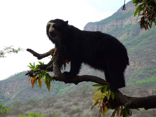 BEST TOUR  SACRED VALLEY, CUSCO,  PERU: Spectacled Bear.