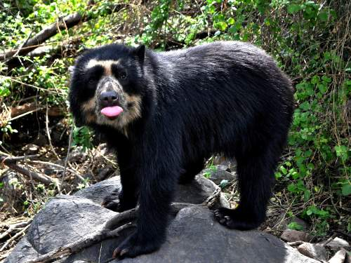 Andes trek, Peru: Spectacled Bear.