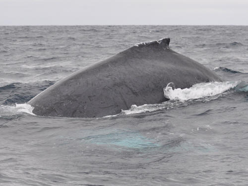 CHOCO COLOMBIA TOURISM SAFETY: Humpback whale surfacing.