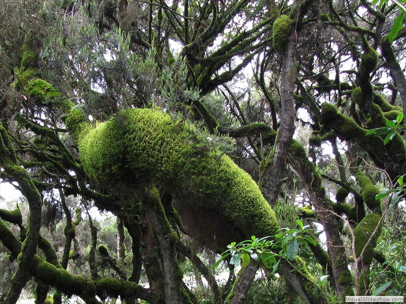 bale-mountains-giant-erica-trees-covered-with-moss