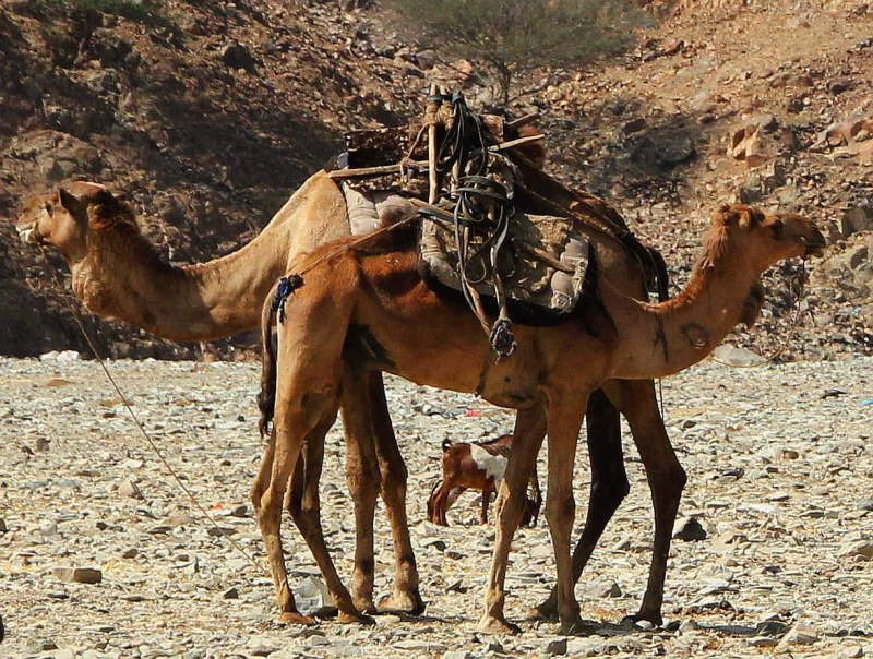 camels-dallol_small