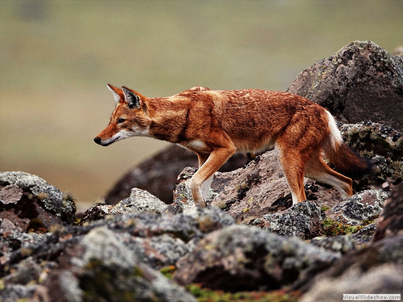 ethiopian-wolf-simien-mountains