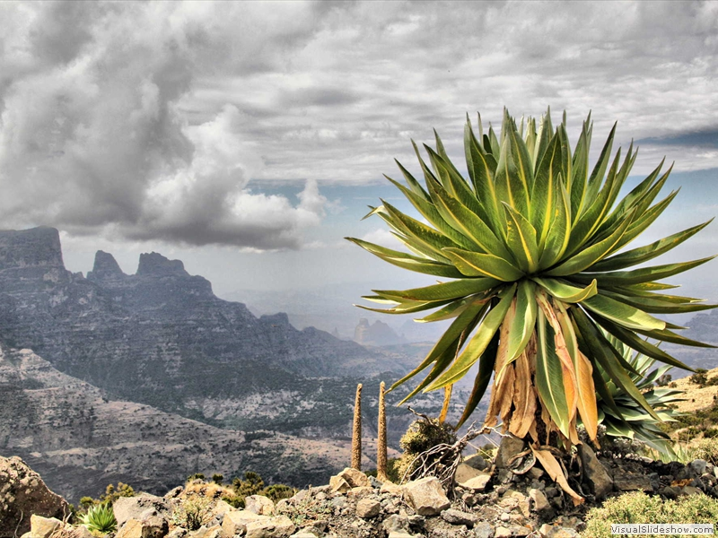 giant-lobelia-simien-mountains-national-park
