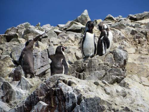 NATIONAL PARKS OF PERU [WHICH ARE BEST]: Humboldt Pinguins sunbathing.
