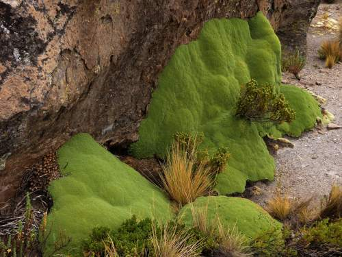 NATIONAL PARKS OF PERU [WHICH ARE BEST]: Salinas & Aguada Blanca National Reserve: Yareta forming cushions against the rocks of the high Puna.
